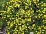 Potentille fruticosa Gold Drop