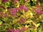 Spirea japonica Fire Light
