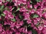 Weigela Florida Rumba C.O.P.F.