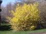 Forsythia Northern Gold C.O.P.F.