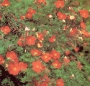 Potentille fruticosa Red Ace