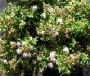 Spirea X bumalda Green Carpet