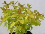 Spirea japonica Golden Princess